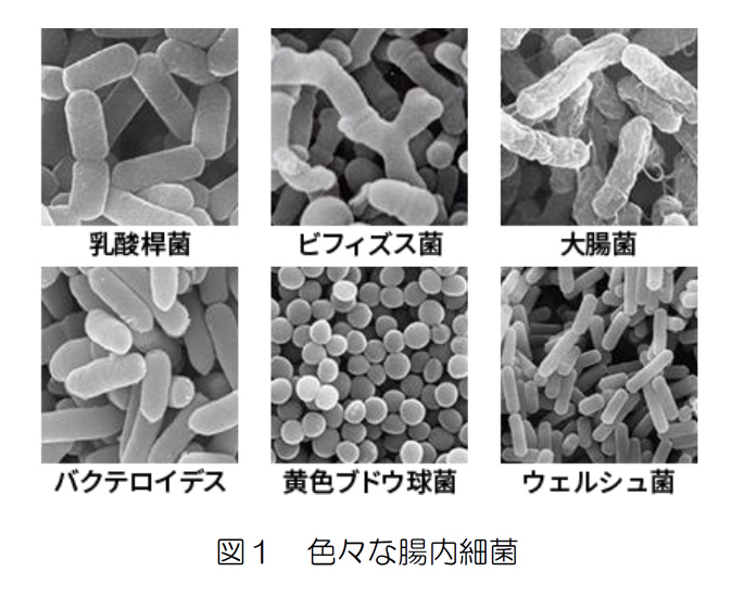 図1 色々な腸内細菌