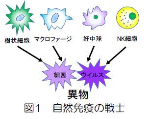 免疫の最前線で働く自然免疫